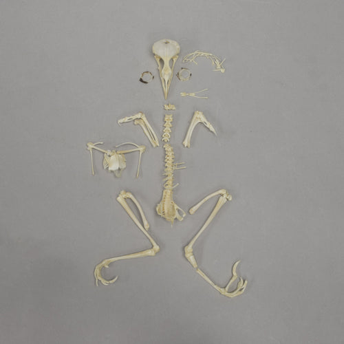 Real Chinese Hwamei Skeleton