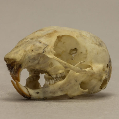 Real Least Chipmunk Skull