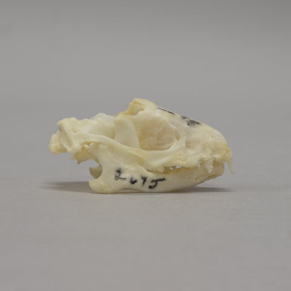 Real Four-toed Hedgehog Skeleton