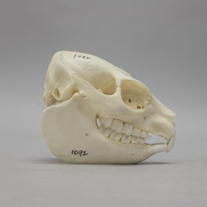 Real Rock Hyrax Skeleton