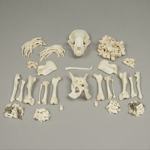 Real American Badger Skeleton