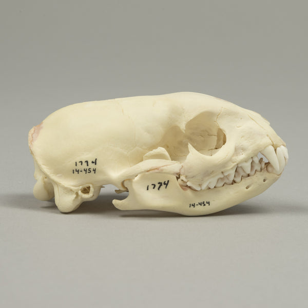 Real Egyptian Mongoose Skeleton - (Incomplete)