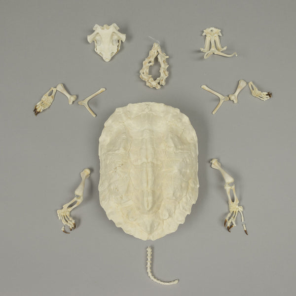 Real Matamata Turtle Skeleton