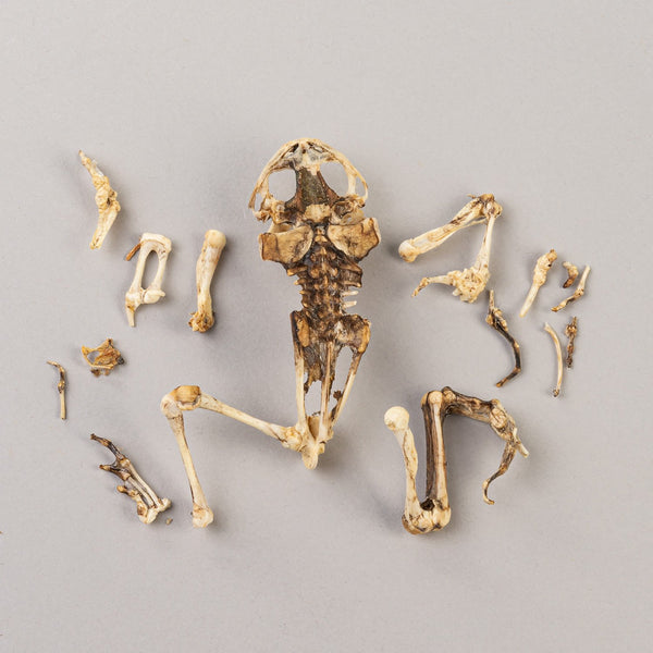 Real Toad Skeleton (Partially Dried)