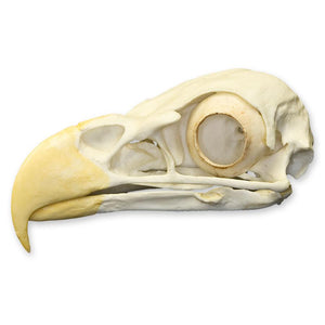 Replica Bald Eagle Skull