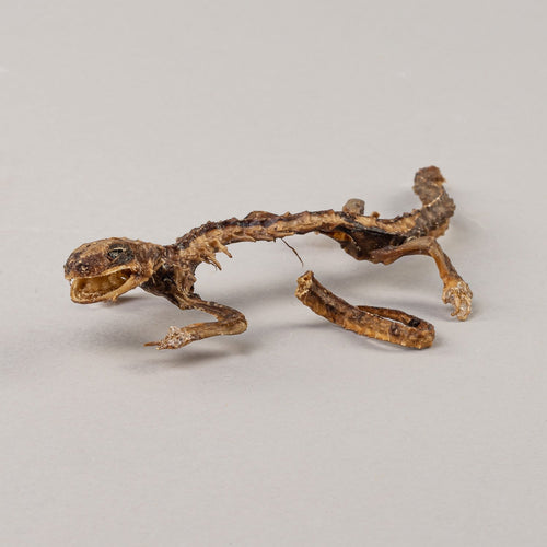 Real Newt Skeleton (Dried)