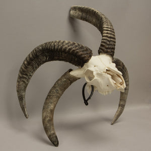 Real Four Horned Sheep