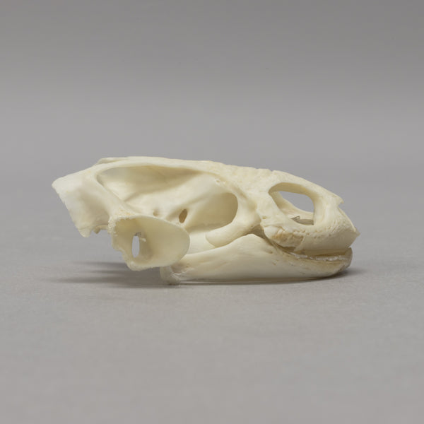 Real Northern Snake-necked Turtle Skull