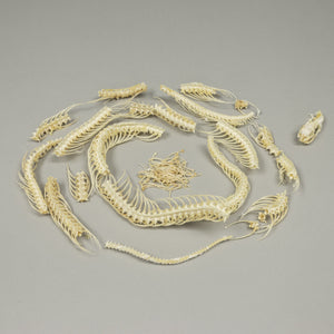 Real Non-Venomous Snake Skeleton