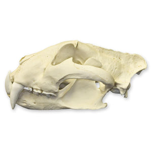 Replica Tiger Skull (Male Siberian)