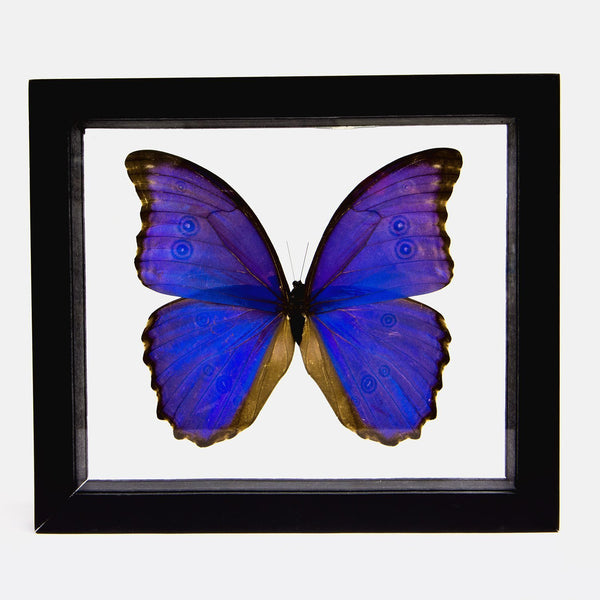 Real Iridescent Blue Butterfly in Double Glass Framed Display
