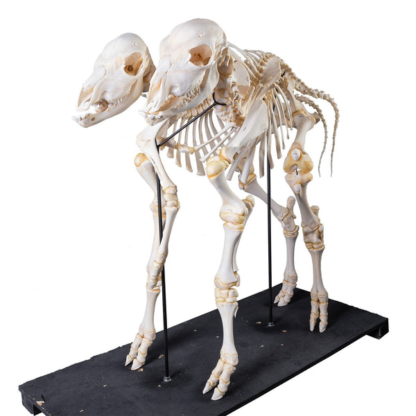 Real Two-headed Calf Skeleton (Articulated)