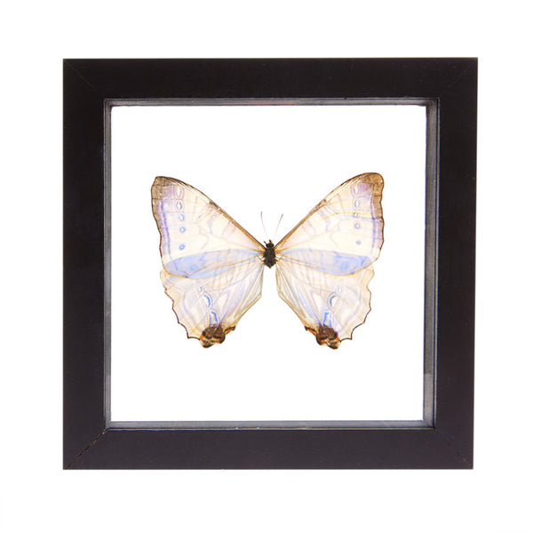 Real Insect of a Morpho Sulkowski Butterfly Taxidermy in an Entomology Gallery Style Framed Display