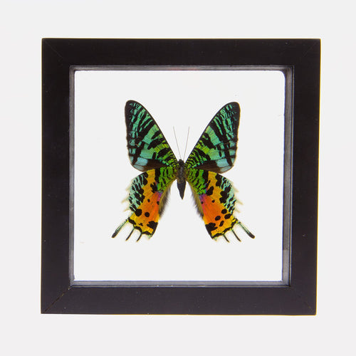 Real Insect of a Sunset Moth Taxidermy in an Entomology Gallery Style Framed Display (Chrysiridia rhipheus)
