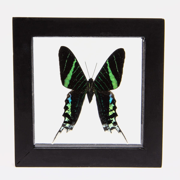 Real Insect of Green-banded Urania Butterfly in an Entomology Gallery Style Framed Display