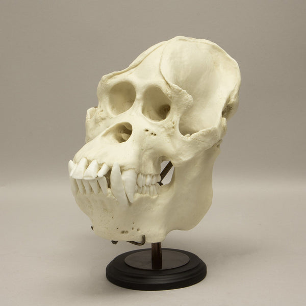 Orangutan Skull Display Stand (Black Finish)