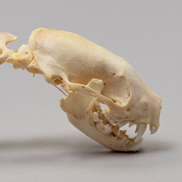 Real Striped Skunk Skeleton (Semi Articulated)