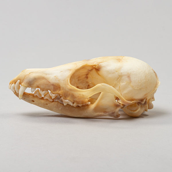 Real Kit fox Skeleton