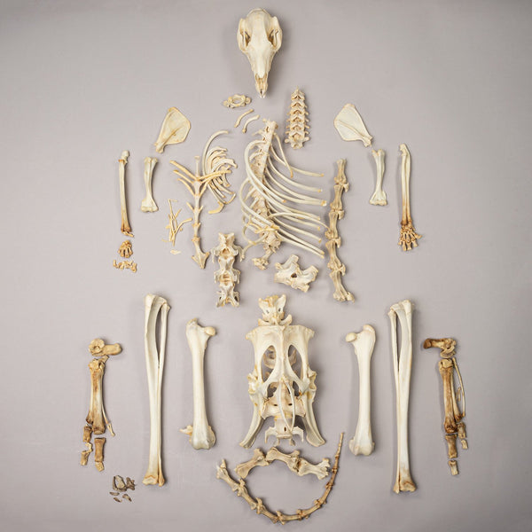 Real Red-necked wallaby Skeleton