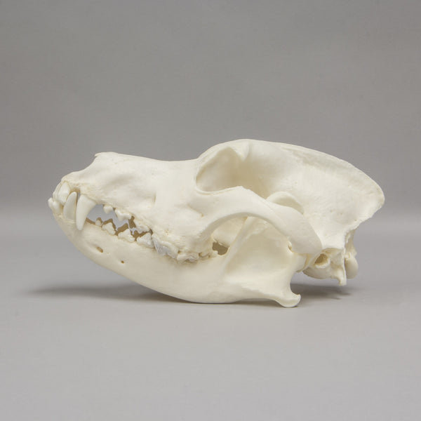 Real Domestic Dog Skull (Severe Pathology)
