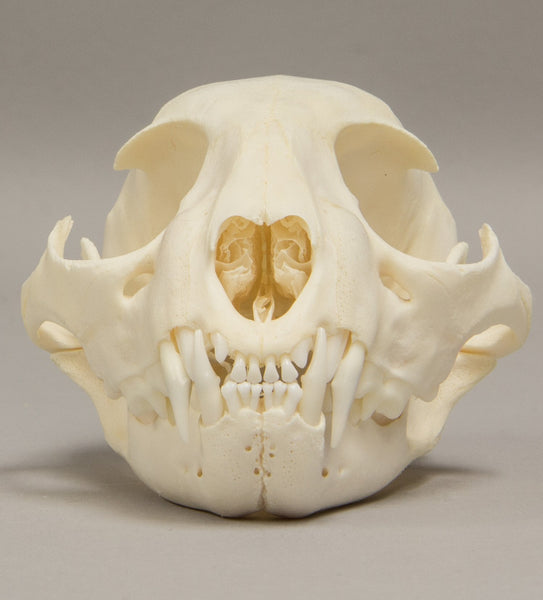 Real Bobcat Skull (Adolescent)