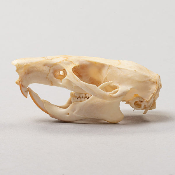 Real Gambian pouched rat Skeleton