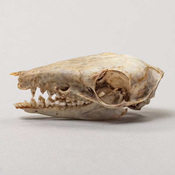 Real Black and Rufous Elephant Shrew Skeleton