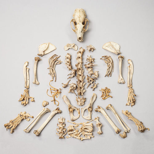 Real African Palm Civet Skeleton