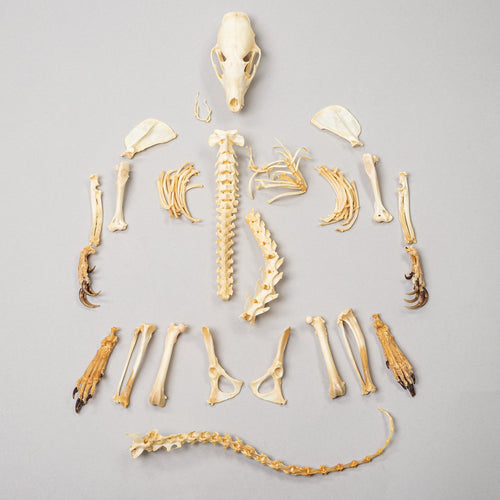 Real Flat-headed Kusimanse Skeleton