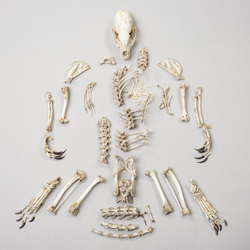 Real Banded Mongoose Skeleton