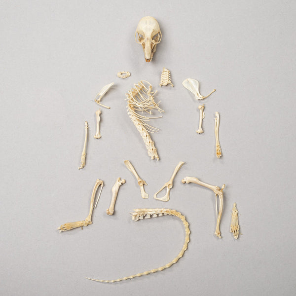 Real Desert Woodrat Skeleton