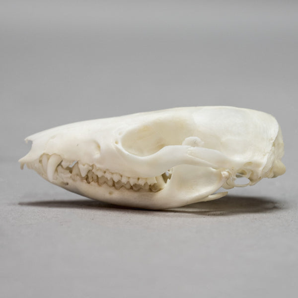 Real Short-tailed Opossum Skull