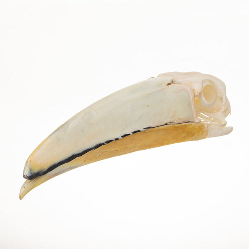 Real Ivory-billed aracari Skull