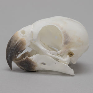 Real Green Cheeked Conure Skull