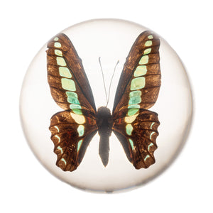 Real Blue Bottle Butterfly in Acrylic Dome Paperweight (Graphium sarpedon)