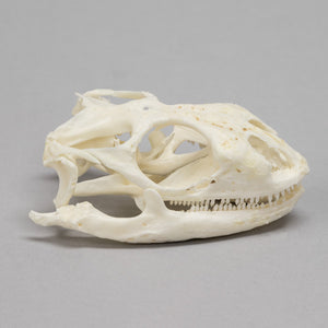 Real Mexican Spiney-tail Iguana Skull