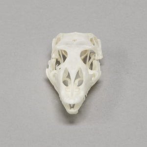 Real Nile Monitor Skull