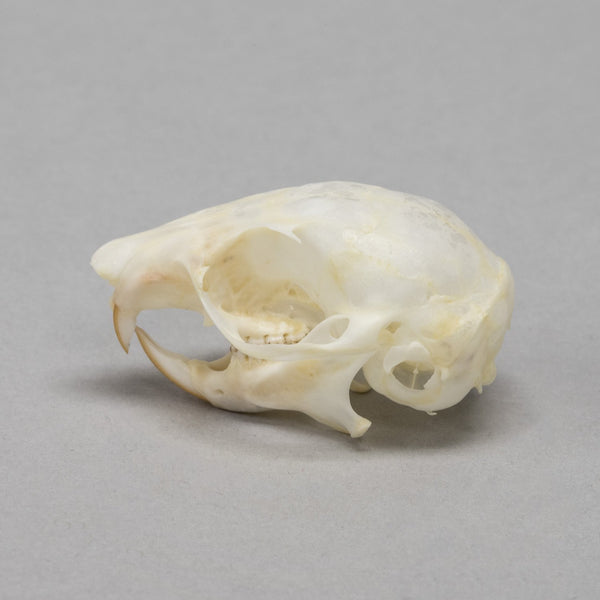 Real Flying Squirrel Skull