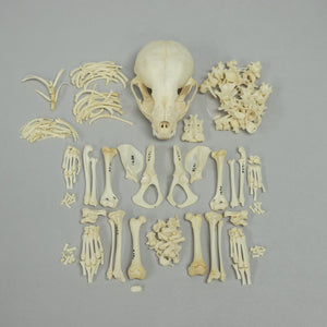 Real Small-clawed Otter Skeleton