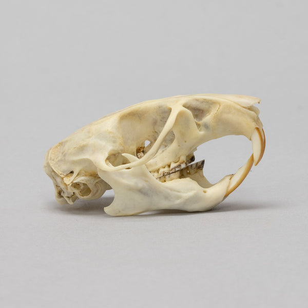 Real Southern Plains Woodrat Skull