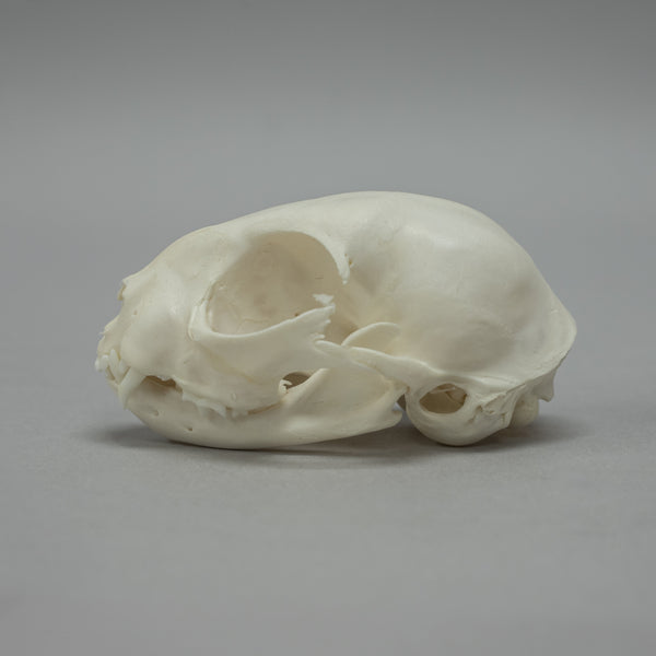 Real Domestic Adolescent Cat Skeleton