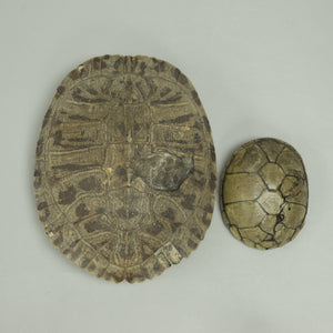 Real Set of Two Turtle Shells with Trauma