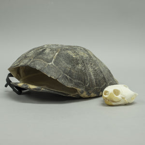 Real African Forest Turtle Skeleton