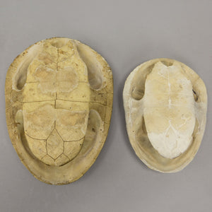 Real Northern Snake-necked Turtle Shell Set