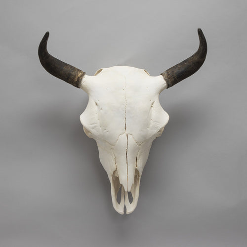 Real American Bison Skull (Female)