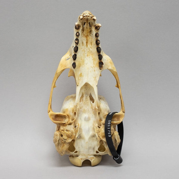 Real Sea Lion Skull