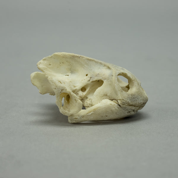 Real Red-bellied Short-necked Turtle Skull & Shell