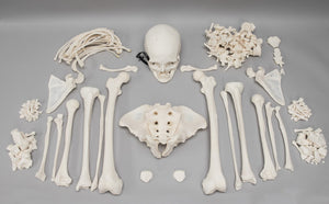 Real Research Quality Human Skeleton