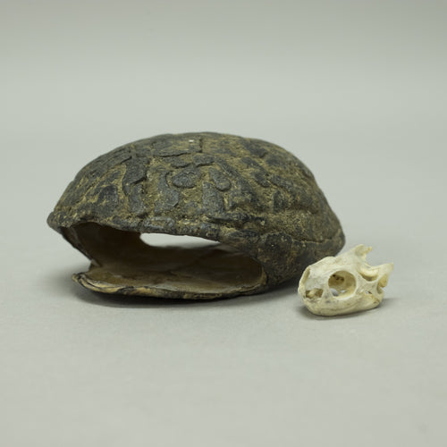 Real Eastern Mud Turtle Skull & Shell