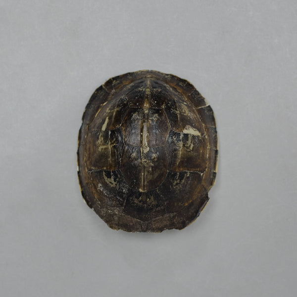 Real Amboina Box Turtle Shell